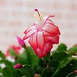 [도희씨네 정원] 산뜻한 핑크게발 대형 290|