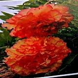 금각 도입종목단|variegated