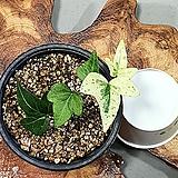 백설공주 아이비|sedum spathulifolium
