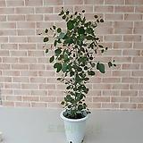 [도희씨네 정원] 동글 하트잎 유칼립투스 폴리안 대형 390|
