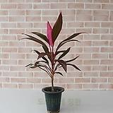 [도희씨네 정원] 핑크 포인트 목대 아이차카 중형 150|