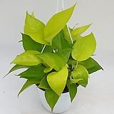 형광스킨답서스 중품(행긴) - 공기정화식물 / 미세먼지/반려식물/관상용 - 꽃보러가자|