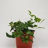 오렌지 자스민 - 공기정화 / 미세먼지 / 반려식물 - 꽃보러가자|
