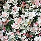 풍성한 초설 (오색마삭)(농장에서 바로직송)  - 공기정화 / 관상용 /인테리어 / 반려식물 - 꽃보러가자|