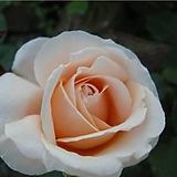 4계피스장미.아바에드클뤼니.예쁜 연한주황색.꽃향기좋음.꽃이 큰형.아주예뻐요.꽃12-15cm.울타리장미.월동가능.상태굿.늦가을까지 피고 합니다.