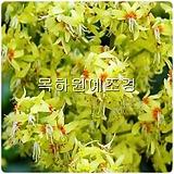모감주나무(실생1년특묘),목하원예조경