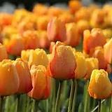 튤립-블러싱아펠돈 구근17개 가을식재 노지월동 봄개화 [케이야생화]|