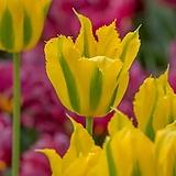 튤립-그린마일 구근13개 가을식재 노지월동 봄개화 구근식물 [케이야생화]|