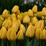 튤립-노비썬 구근17개 가을식재 노지월동 봄개화 구근식물 [케이야생화]|