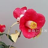 유원동백(꽃대수형-73)-동일품배송|