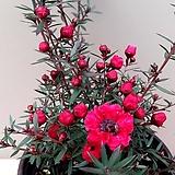 호주매화(꽃대중품)|