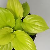 형광스파트 - Lime Blossom,형광빛의 잎이 아름다운 공기정화식물 - 꽃보러가자|
