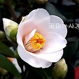 화선산동백(꽃대수형/20)-동일품배송|