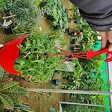 장미허브 (공기정화 걸이식물) 초특가|