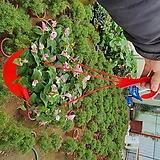 달개비 (카멜레온달개비)공기정화걸이식물특|