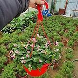 달개비 (카멜레온달개비)공기정화걸이식물 신상|