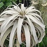 [동일품배송]특대품 세로그라피카 공기정화식물 행잉플랜트 에어플랜트 공중식물|