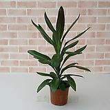 [도희씨네 정원] 싱그러운 초록 드라세나 그라우카 160|