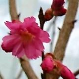 벗꽃중의 명품 한비앵(102)|