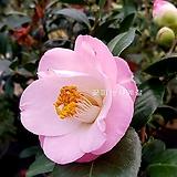 도태랑동백(꽃대수형/19)-동일품배송|Echeveria cv Momotarou