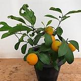 오렌지레몬.단품|