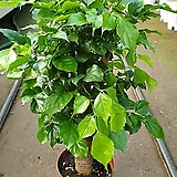 떡갈나무(미니)  공기정화식물