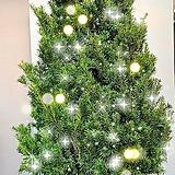 크리스마스트리용 주목나무,높이 190cm전후|Echeveria Agavoides Christmas