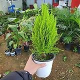 율마 (공기정화 대표식물)6구사이즈|