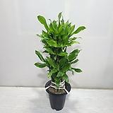 황금죽2단/공기정화식물/온누리 꽃농원|variegated