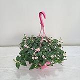 카멜레온달개비/공기정화식물/온누리 꽃농원|