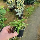 풍란 소엽 (난)식물|