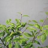 무늬향기동백C1851-외목대,동일품배송|