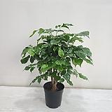 녹보수/대박나무/공기정화식물/온누리 꽃농원|Sedum dendroideum