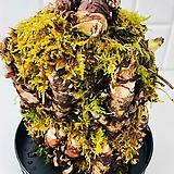 돌단풍 노지월동 야생화 돌나리|