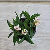 긴기아난 흰색 미니종/공기정화식물/온누리 꽃농원|