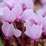 원종 시클라멘 (꽃은 백화가 필수 있슴)|