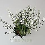 [도희씨네 정원] 시크한 매력 마오리 코로키아 그린 340|
