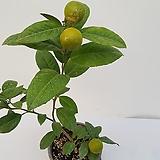 레몬오렌지나무(사진배송)|