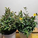 개나리자스민(중품) 노오란꽃이 피면 향기가나지요 |