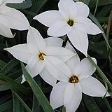 미니향기별꽃-백화|