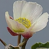 꽃대맺힌  비비추 바람꽃(랜덤 발송) 