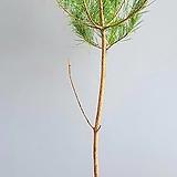 적송소나무, 전체높이 150cm 전후|