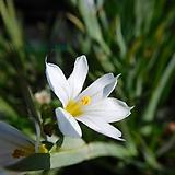 흰등심붓꽃 모종5포트 노지월동 다년초 8cm포트묘 [케이야생화]|