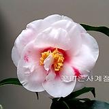 아메리카 동백/33-동일품배송|