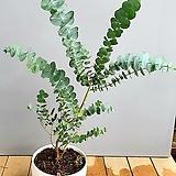 반려식물 유칼립투스, 동일상품배송입니다.|
