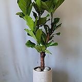떡갈나무+스트립시멘트화분(부경농원)|