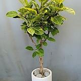 뱅갈고무나무+테라조시멘트화분(부경농원)|