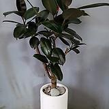 떡갈나무+스트립시멘트화분(부경농원)