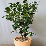 동백나무+토분원형(부경농원)|