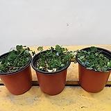 블루사랑초 (꽃이 파란색으로 피네요) |